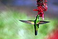 Green-crowned brilliant hummingbird female.JPG
