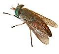 Greenhead Horse-Fly (3638841985).jpg