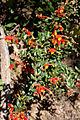 Grevillea alpina (Cat's Claws), Moora Track, Grampians National Park, Victoria Australia (5044222704).jpg