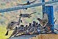 Grey Cat-birds feast.jpg