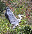 Grey Heron 8498-1.jpg