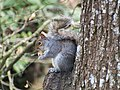 Grey Squirrel at Stover.jpg