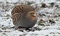 Grey partridge (46454530105).jpg