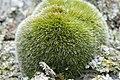 Grimmia alpestris (a, 113335-471123) 1446.JPG