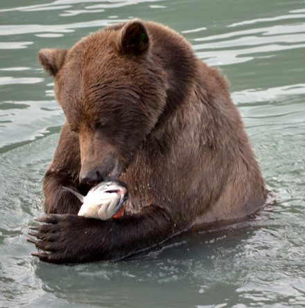 Management goals might consider the impact of salmon on bear and river ecosystems Grizzly bear with salmon - journal.pbio.1001304.g001.png