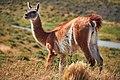 Guanaco - wild llama (25356772537).jpg