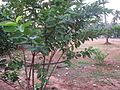 Guava - പേര, പേരയ്ക്ക 01.JPG