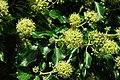 Gwenyn ar Flodau Eiddew - Bees on Ivy Flowers - geograph.org.uk - 547757.jpg