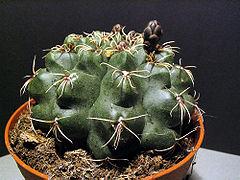 Gymnocalcium baldianium.jpg