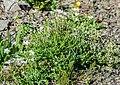 Gypsophila repens at Col de Tavaneuse (2).jpg