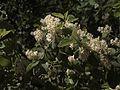 H20100501-2633--Ceanothus incanus--RPBG (32191755431).jpg