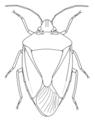 HEMI Pentatomidae Glaucias amyoti 3.png