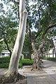 HK CWB 高士威道 Causeway Bay Road 維多利亞公園 Victoria Park tree Sept 2017 IX1 檸檬桉 Corymbia citriodora 03.jpg