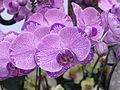 HK CWB Victoria Park Chinese New Year Flower Fair F08 Purple.jpg