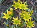 Haplophyllum linifolium FlowersCloseup DehesaBoyalPuertollano.jpg