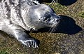 Harbor Seal (33086193076).jpg