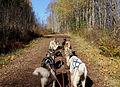 Hard working dogs - 1 (2954986956).jpg
