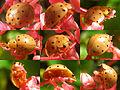 Harmonia sedecimnotata on red flower - SaranganIDN20100819 collage.jpg
