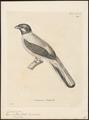 Harpactes rutilus - 1700-1880 - Print - Iconographia Zoologica - Special Collections University of Amsterdam - UBA01 IZ16700367.tif