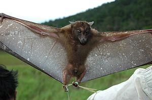 Whitehead-toothed bat (H. whiteheadi)