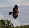 Harris Hawk in flight 1 (6022914190).jpg