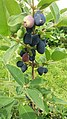 Haskap berries.jpg