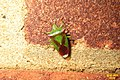 Hawthorn shieldbug (BG) (9784107555).jpg