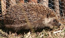 Southern African hedgehog seen from the right