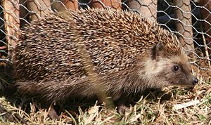 Southern African hedgehog - (Atelerix frontalis)