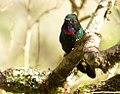 Heliangelus exortis (Heliángelus belicoso) - Flickr - Alejandro Bayer (2).jpg