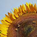 Helianthus annuus-IMG 9247.jpg