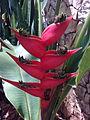 Heliconia bihai 5379.jpg