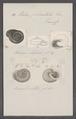 Helix plicatula - - Print - Iconographia Zoologica - Special Collections University of Amsterdam - UBAINV0274 089 01 0033.tif
