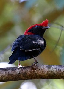 Helmeted Manakin (Antilophia galeata) male from rear.jpg