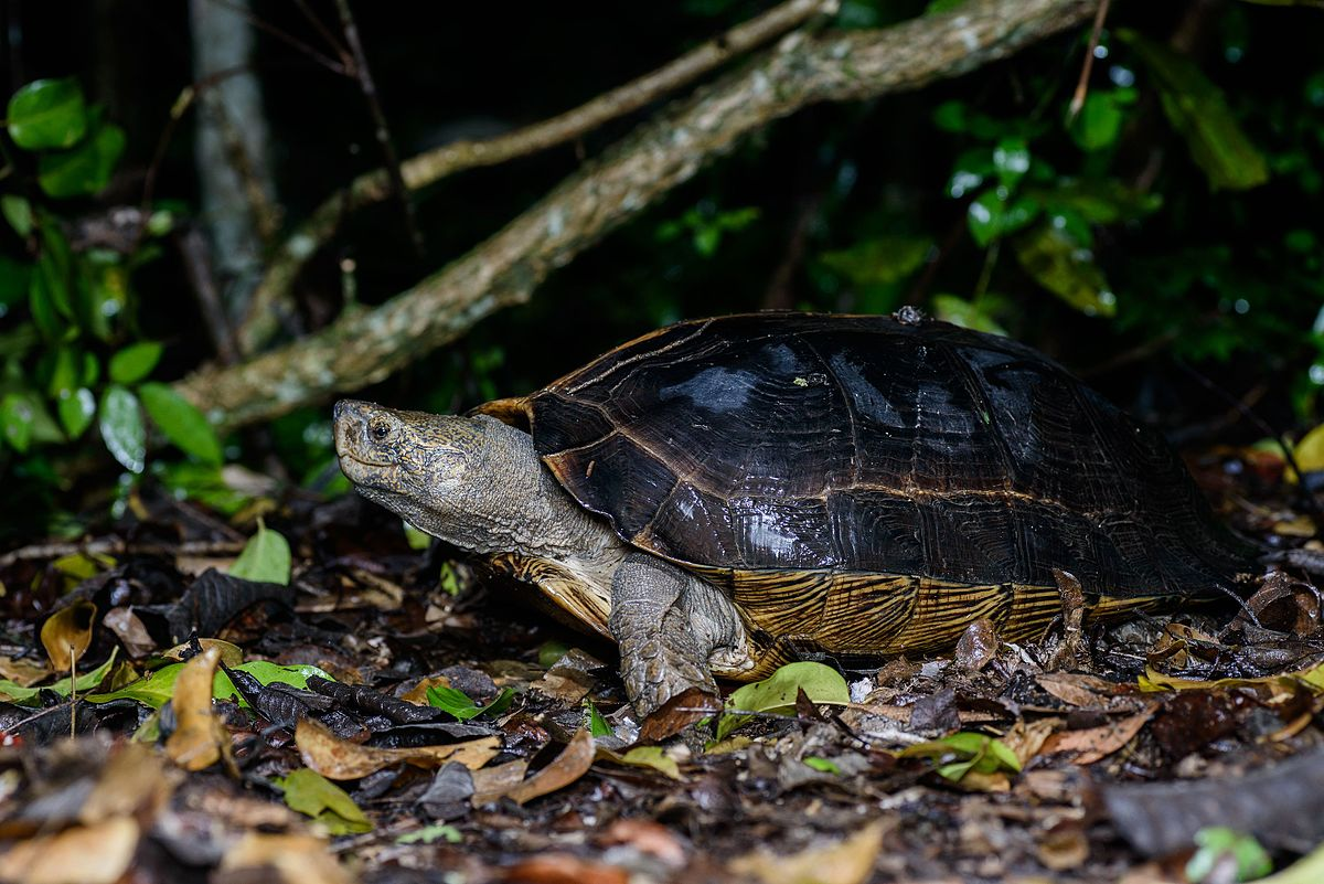 Giant Asian Pond Turtle Wikipedia