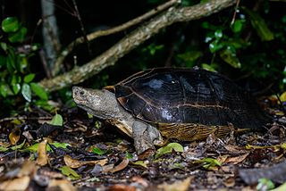 Giant Asian pond turtle species of reptile