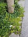 Herniaria glabra sl18.jpg