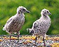 Herring Gull Fledglings.jpg