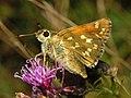 Hesperiidae - Hesperia comma - female-001.jpg