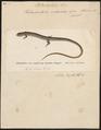 Heterodactylus imbricatus - 1700-1880 - Print - Iconographia Zoologica - Special Collections University of Amsterdam - UBA01 IZ12500065.tif