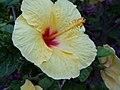 Hibiscus Flower-Taormina-Sicilia-Italy-Castielli CC0 HQ - panoramio - gnuckx (3).jpg