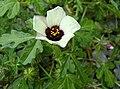 Hibiscus trionum 2012-09-29 Cranberry-02.jpg