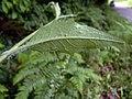 Hieracium laevigatum leaf (03).jpg