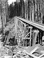 High railroad trestle through timber, Kerry Timber Company, Oregon, ca 1917 (KINSEY 2362).jpeg