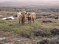 Highland Cattle on Maol an Uillt Ghrisinn - geograph.org.uk - 303264.jpg
