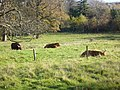 Highland cattle in the grounds of Prestonfield House - geograph.org.uk - 1599978.jpg