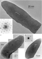 Highly elongated magnetosomes.png