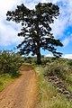 Hiking trail in Pino de las Higueritas wildlife park on the way to Chinyero volcano on Tenerife, Spain (48225167751).jpg