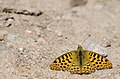 Himalayan Queen Fritillary-DSC 5413.jpg