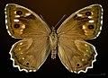 Hipparchia fidia MHNT CUT 2013 3 31 Villegailhenc female dorsal.jpg